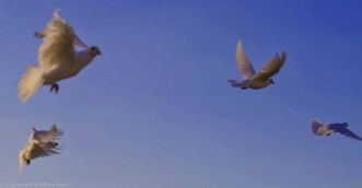 Cuban pigeons (1 of 2)