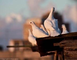 Cuban pigeons (2 of 2)