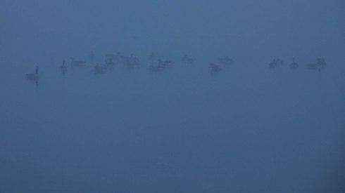 Foggy Ducks