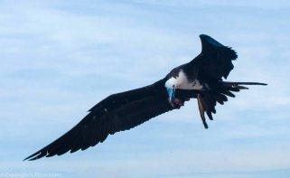 Mazatlan bird